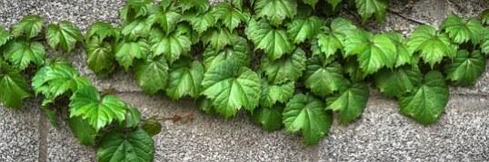 ivy-1350185__180